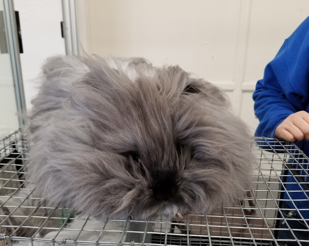 This is Chillin, an English angora buck. He is ready for a trim.