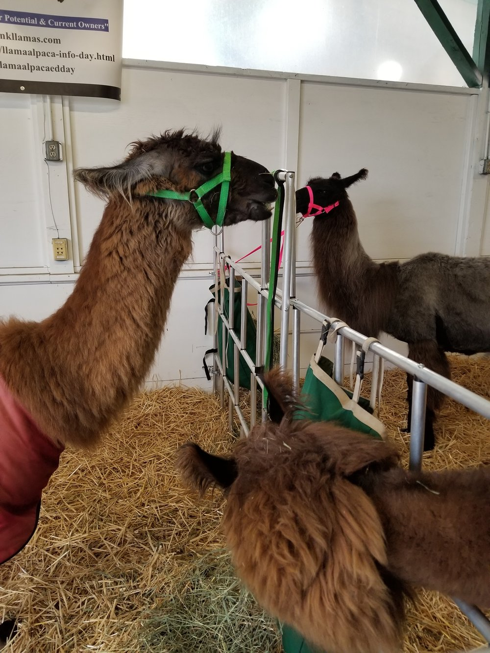 Llamas enjoying their hay
