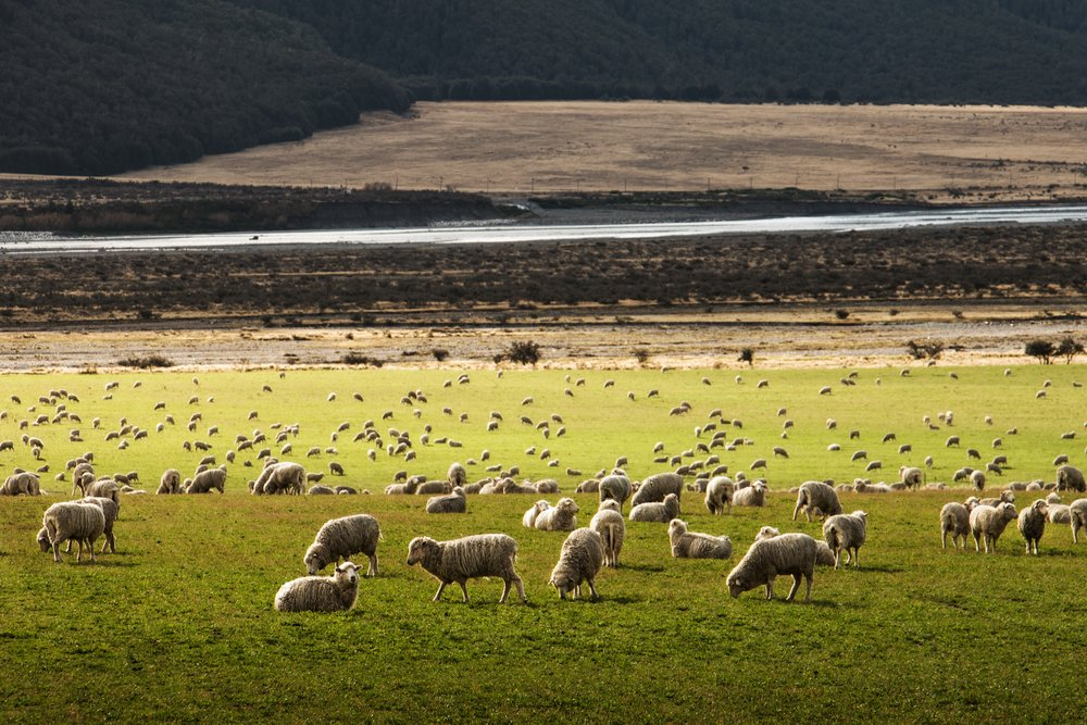 Sheep, in New Zealand, a scene I imagine you can see from where Marcus R Taupe is now. (Photo by  Martin Bisof  on  Unsplash )