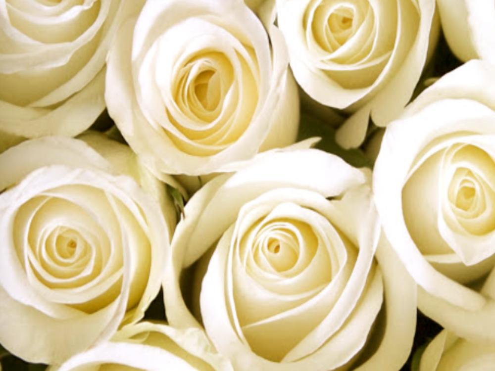 rosesinsantacatalina