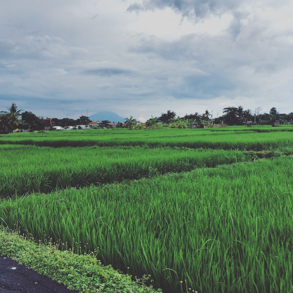 ricefieldsumalas