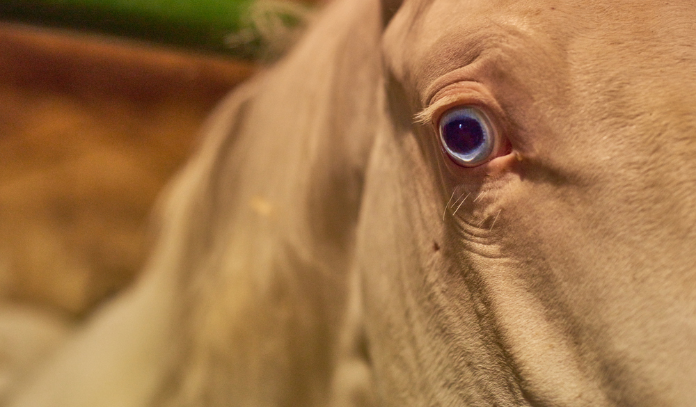 While walking through one of the barns where all the young colts are kept, I came across this albino colt with the most amazing eyes. There was a instant connection with this guy as though he was looking for a friend to hang out with even though there are other colts in stalls near by they are still separated.   So where was I going with this blog, oh yeah I was talking about making friends. I sometimes find myself just making friends with animals nothing has to be said to impress them only your presence is needed. That's all they want is to hang out for a bit, everyone should give this a whirl sometime. Slow down and just be present that's all the horses do.