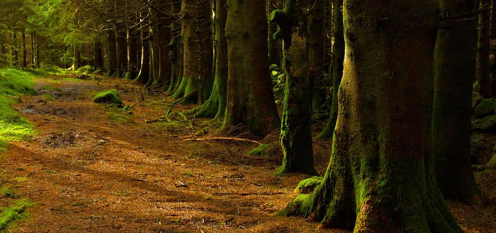 'Forest above Crafnant'   by    Stuart Madden