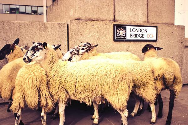 Sheep enjoying last year's London Bridge Sheep Drive