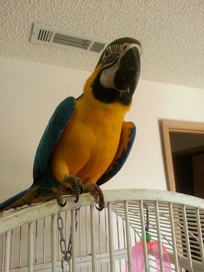 ADOPTED. Kido was surrendered as a healthy bird, the owner got a new girlfriend and the birds didn't like her, So guess who got to stay. Check here to see progress reports.