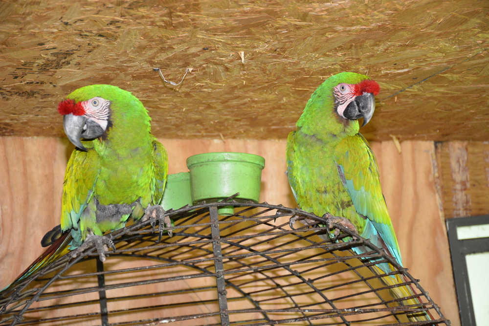 TEMPORARILY PLACED IN ANOTHER HOME Jack and Ginny. These are ex-breeders and are tightly bonded. They are not available for adoption as we promised the previous owner that they would be with us indefinitely unless they went back to her.