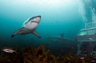 A Great White Shark swimming in the waters off the coast of New Zealand (Chris Fallows/Discovery)