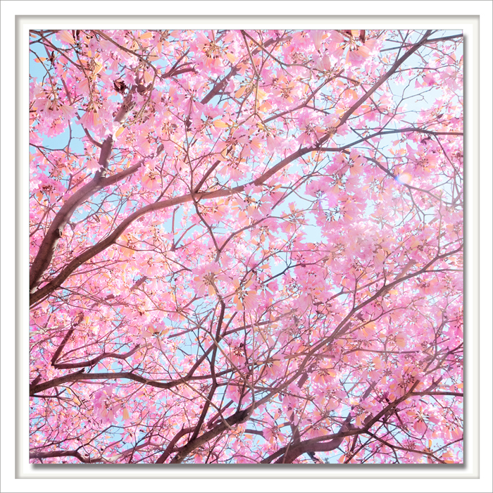 Cherry Cherry.jpg