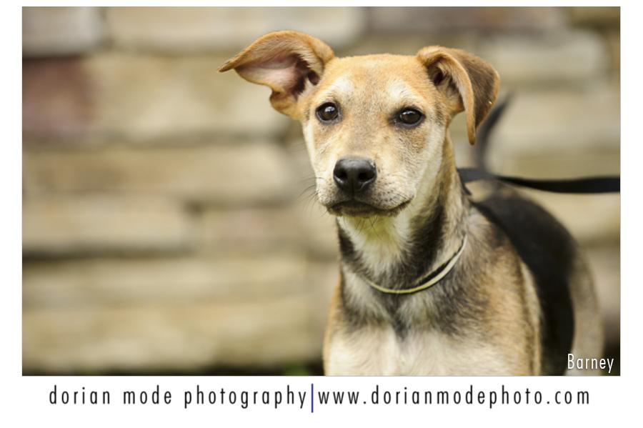companion pet rescue_barney