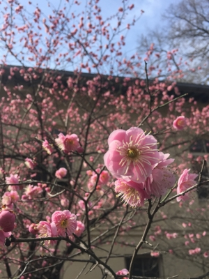 Cherry blossoms at Brooklyn Botanic Garden, taken February 27.