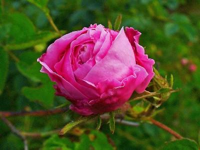 Rosa centifolia , image credit:  Wikipedia
