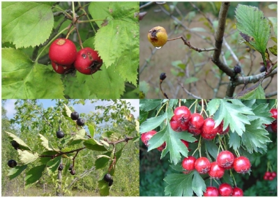 Clockwise from top left, fruit of clockwise from top left: Crataegus coccinea, C. punctata var. aurea, C, ambigua, C. douglasii. Image: Wikipedia