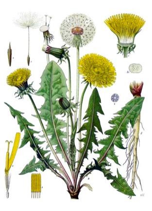 Botanical-Dandelion