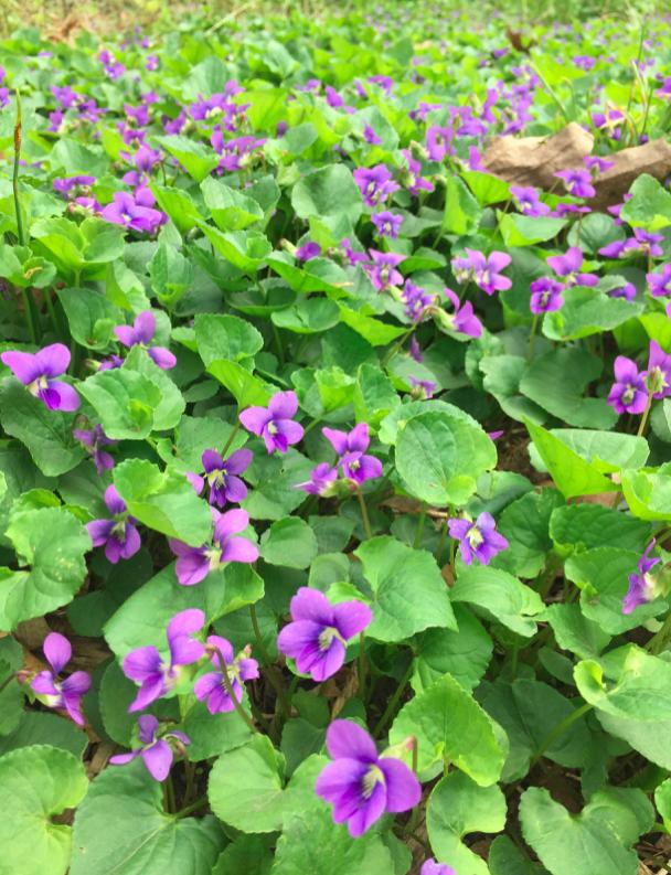 Viola-sororia