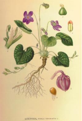 Viola-odorata-botanical