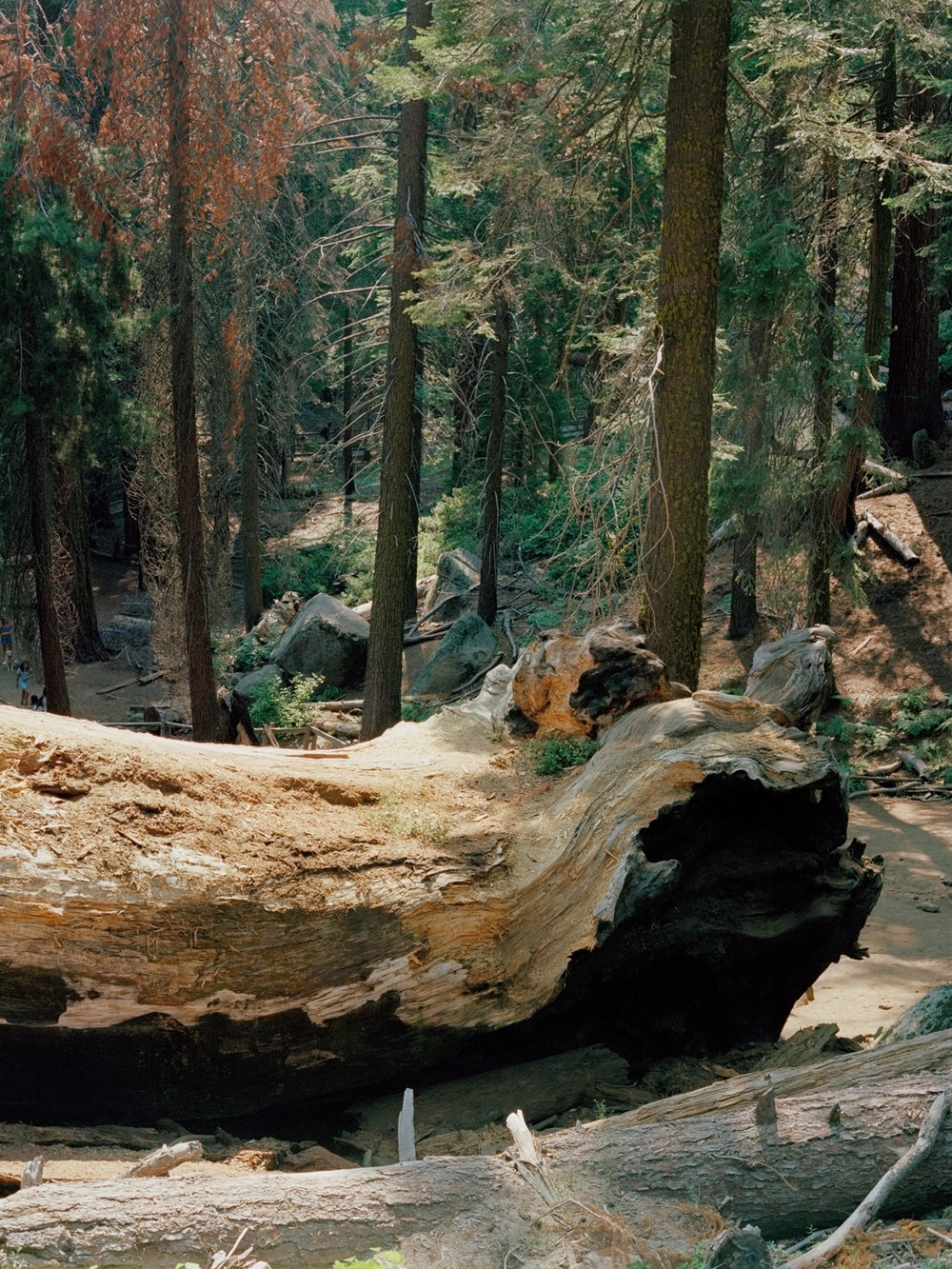 """Vermont Log,"" Kings Canyon National Park"