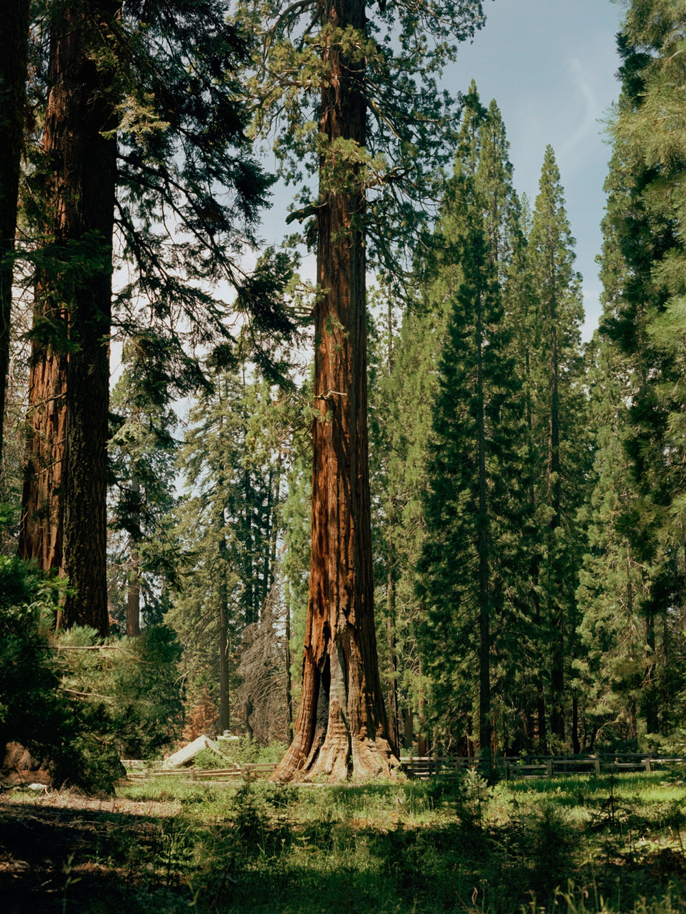 Unnamed Sequoia, Sequoia National Park
