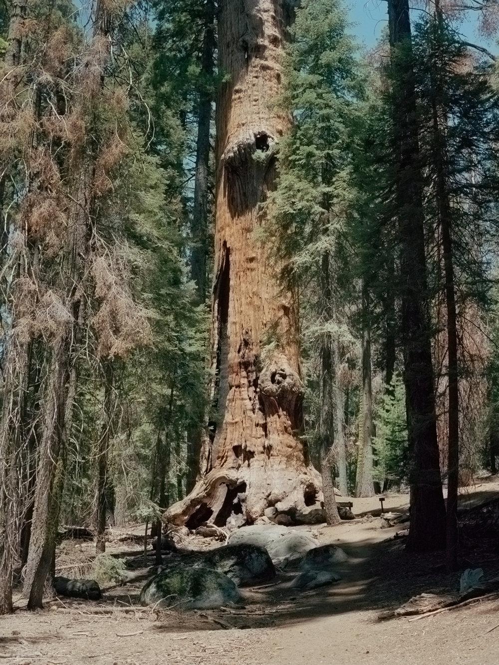"""""""Chief Sequoia,"""" Sequoia National Park"""