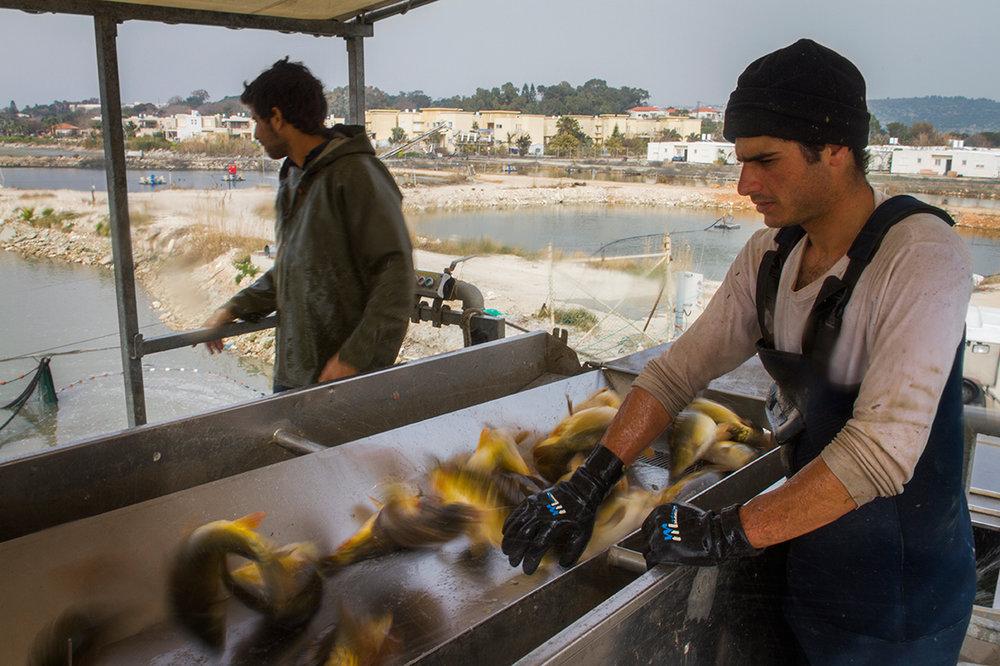 Fish Farm Harvest - Kibbutz Ma'agen Michael, Israel/Palestine