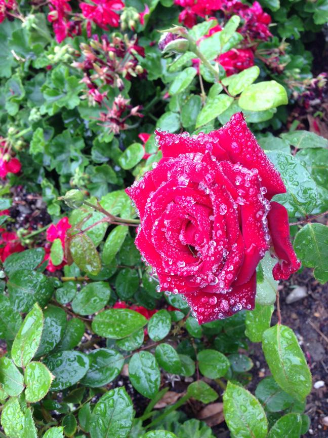 dew rose