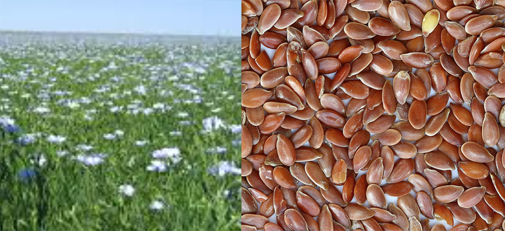 the flax plant and seeds photos from  Irish Linen.com