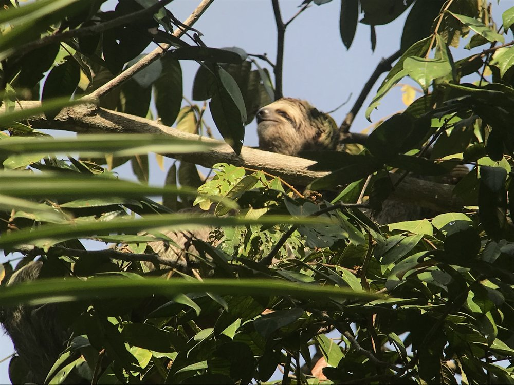 And finally, at long last, we saw a sloth!!  Sloths are not only adorable, but super fascinating.  There are both two and three toed sloths in Costa Rica; one is diurnal and one is nocturnal.
