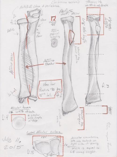 Sketches of radius and ulna