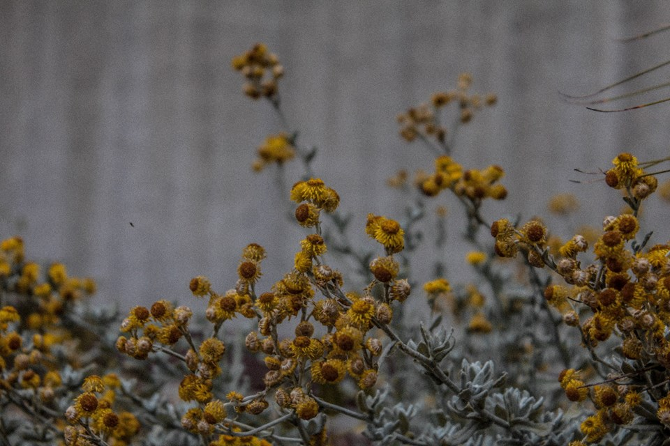 Wattle at the National Gallery of Australia, Canberra. Shot on Canon 60D.