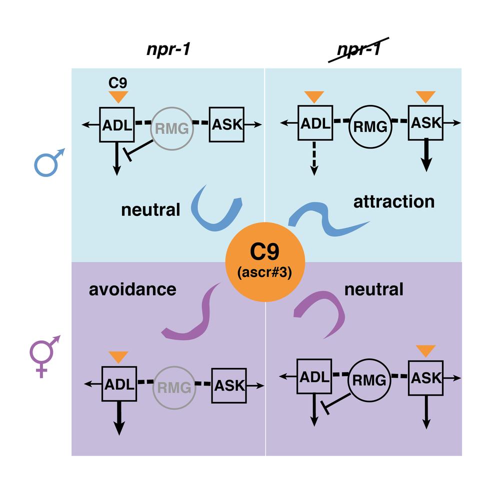 c+elegans+synapse2-01.png