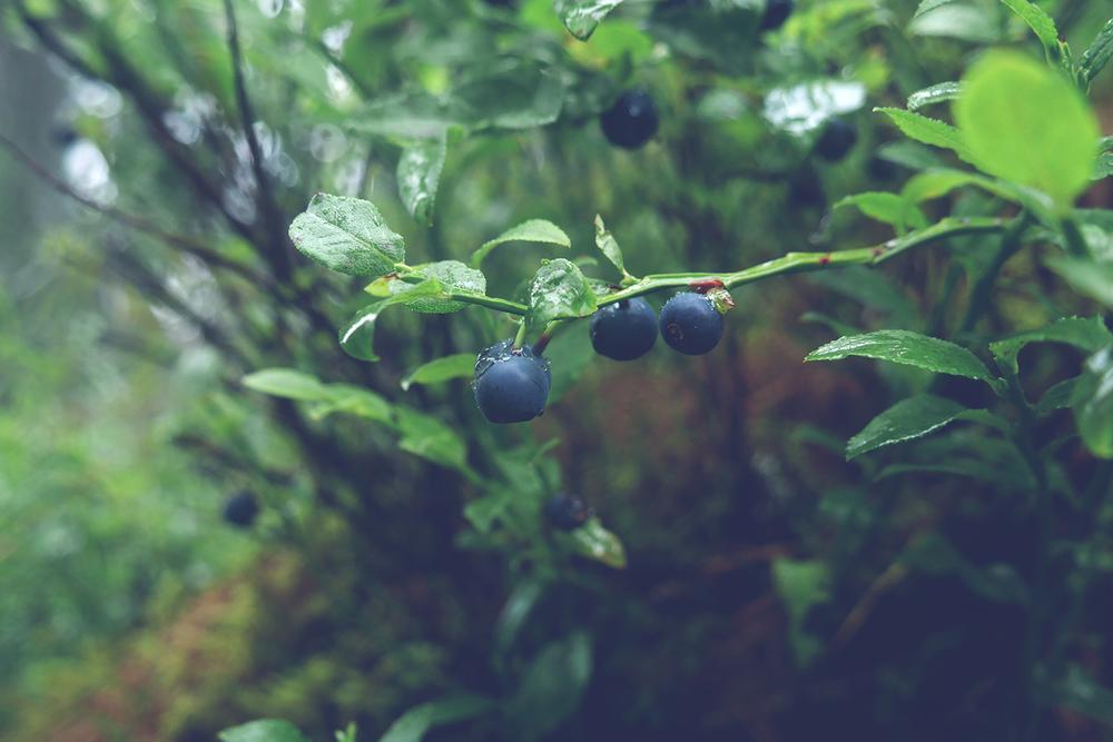 hur länge kan man plocka blåbär