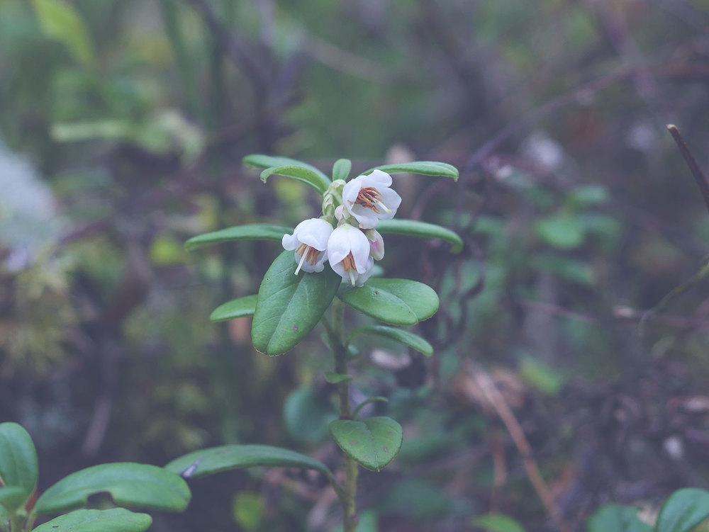 blog-Lingon-blommor.jpg
