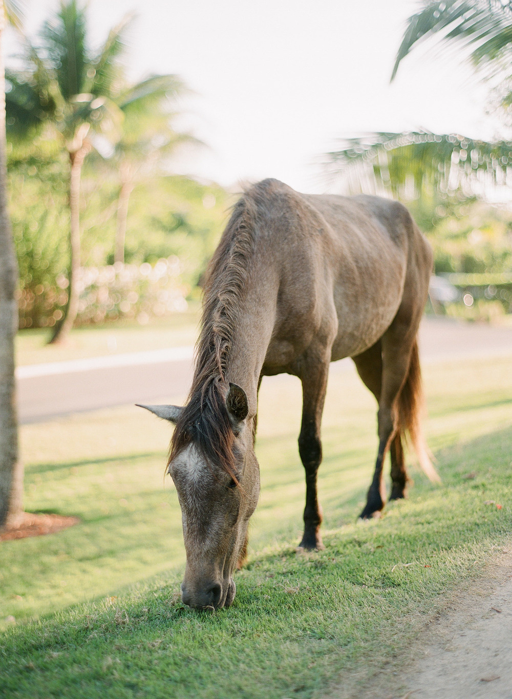 wild horses roam the island at vieques island in puerto rico where destination wedding photographer LExia Frank photographed this modern vieques island wedding at the W hotel on film as she is a film photographer for weddings