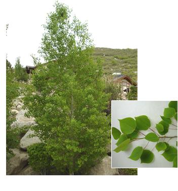 Populus tremuloides 'Bethel Spire' (Bethel Spire Quaking Aspen)