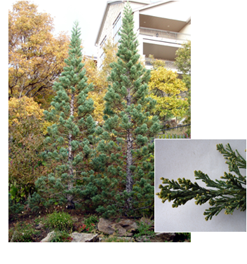 Sequoiadendron giganteum 'Glaucum' (Blue Sequoia)