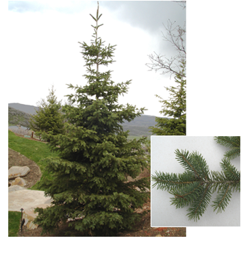 Picea engelmannii (Engelmann Spruce)