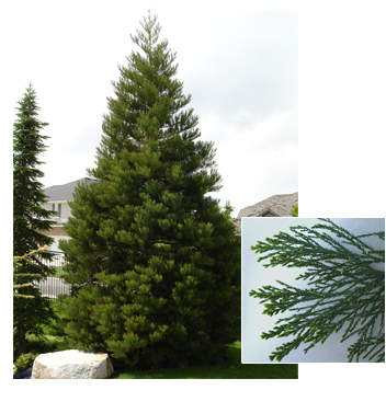 Sequoiadendron giganteum (Giant Sequoia)