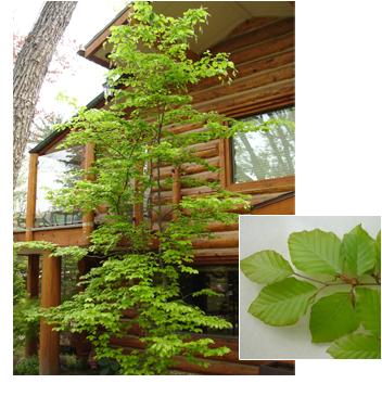 Fagus sylvatica (Green Beech)