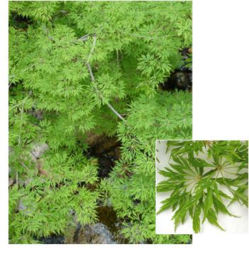 Acer japonicum 'Green Cascade' (Green Cascade Maple)