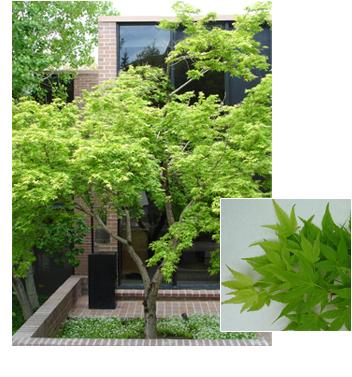 Acer palmatum 'Specimen' (Specimen Japanese Maple)