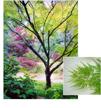 Acer palmatum 'Seiryu' (Seiryu Japanese Maple)