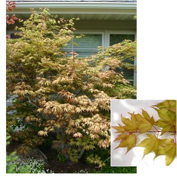 Acer palmatum 'Shigitatsu sawa' (Shigitatsu Japanese Maple)
