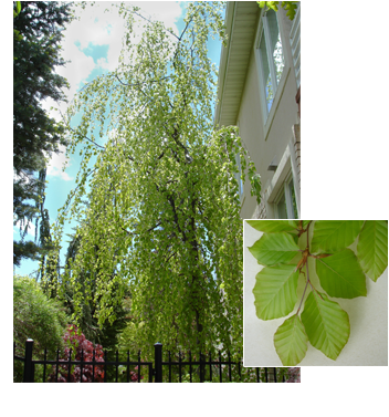 Fagus sylvatica 'Pendula' (Weeping Green Beech)