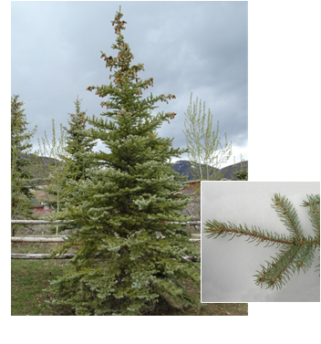 PDM-trees-coloradoblue.png