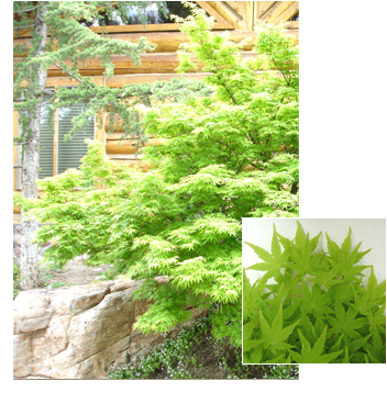 PDM-trees-japanesemaple2.png