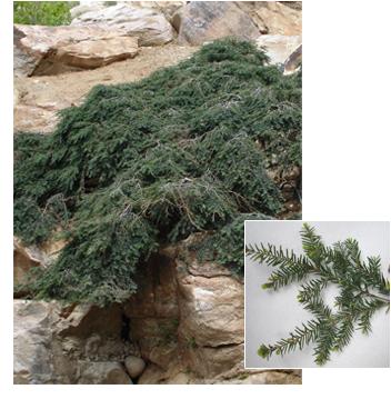 PDM-trees-weepinghemlock.png