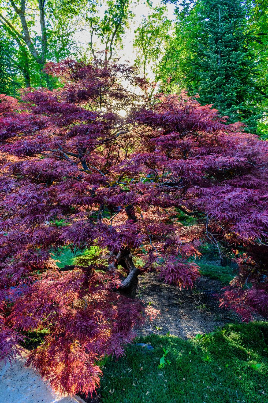 Legacy Garden Maple-0222_sm.jpg
