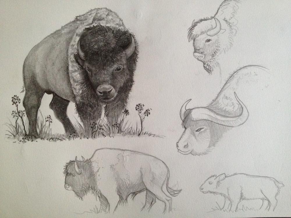 Buffalo Study.JPG