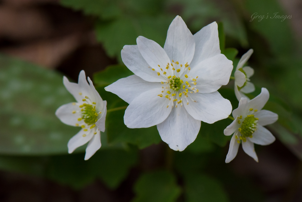 Rue Anemone found along the trail at Yahoo Falls during the spring wildflower bloom.