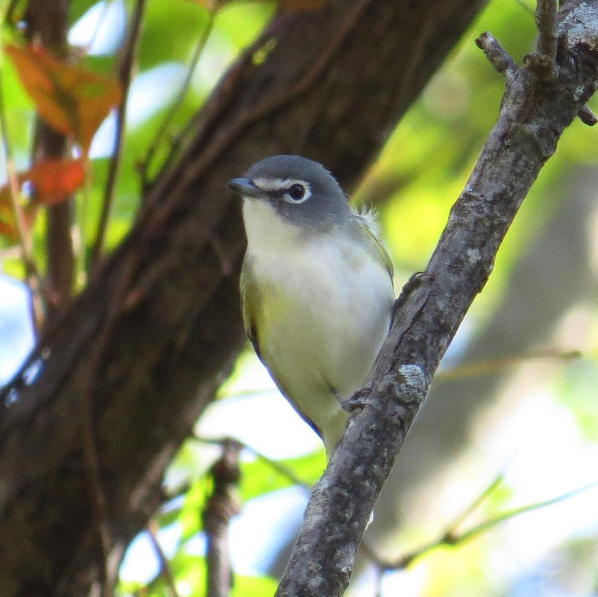 Blue-headed Vireo. Photo: Michael Parker
