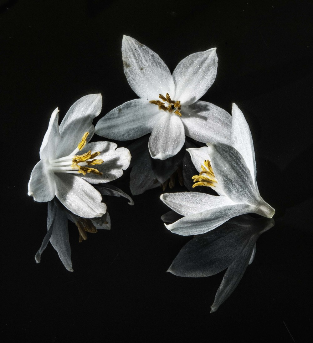 3 fragrant Snowbells on Black plexi